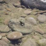 rana (Patos en el Rio Gállego)